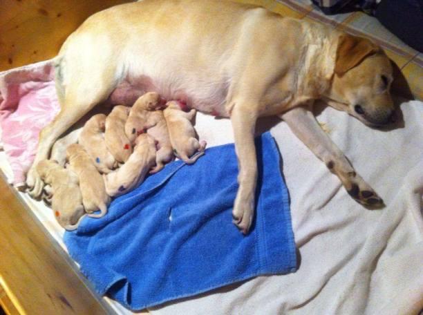 Amely und ihre 8 Labrador Retriever Welpen kurz nach der Geburt