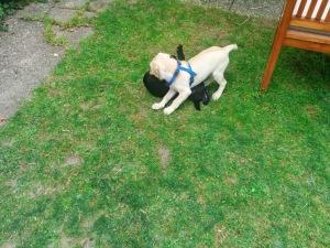 Chewy und Dan - zwei Welpen beim Spielen