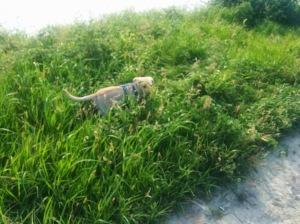 Chewy im hohen Gras